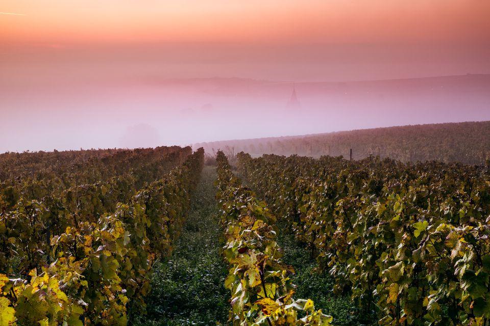Sunrise on the vineyards, Ville Dommange, Champagne, France