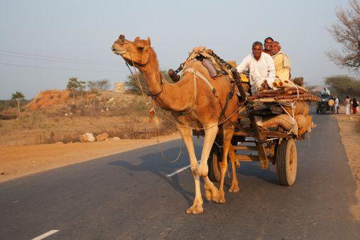 Camel on Rajasthan road.