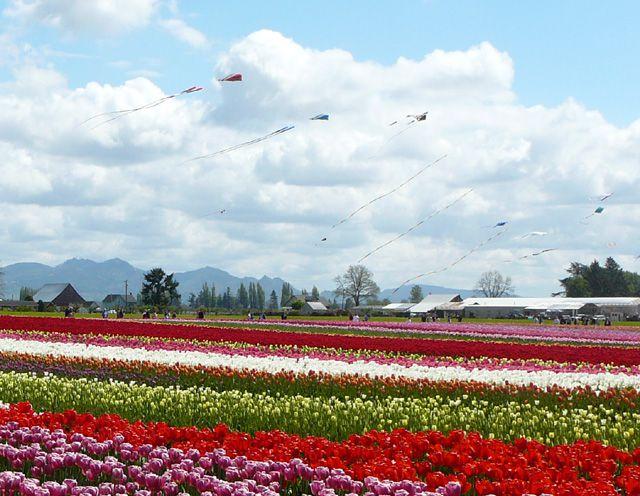 Kites Flying over Tulip Fields