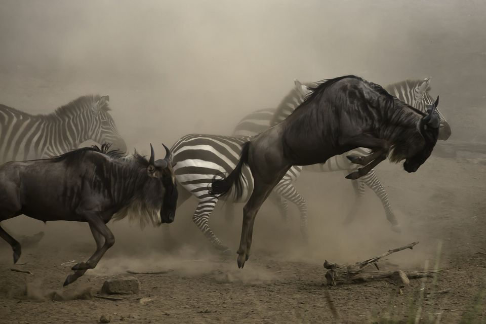 Wildebeest and Zebra on the move