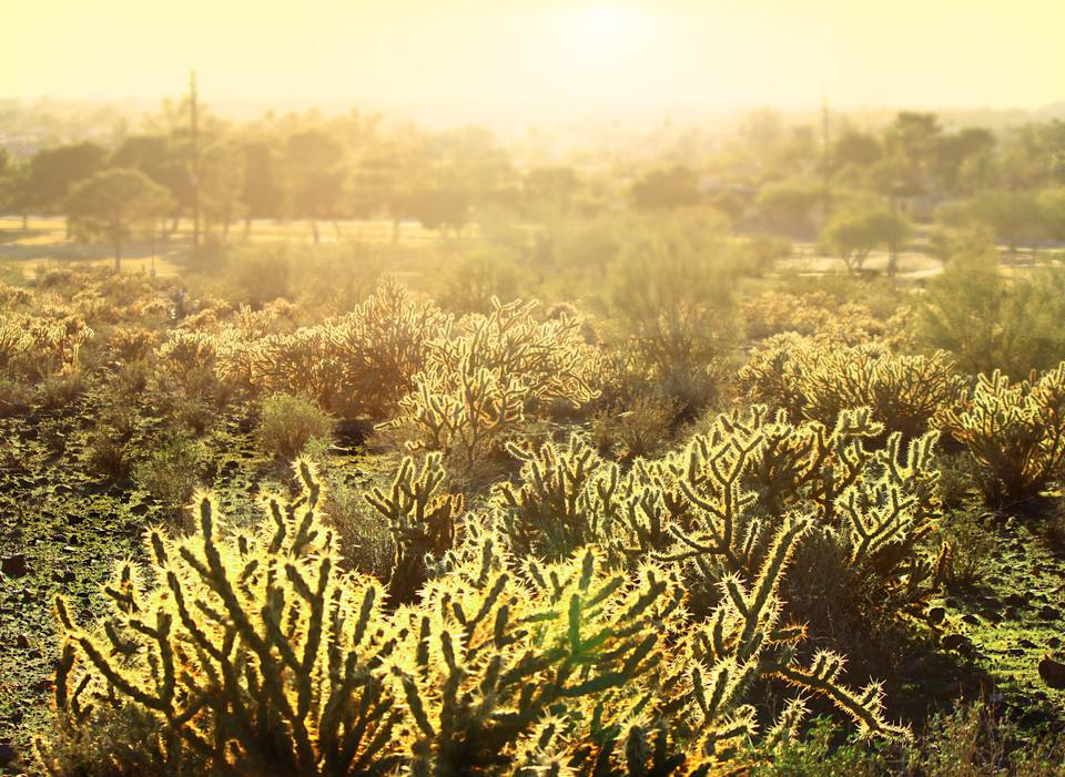 Cholla Cactus Desert Landscape in Phoenix, Arizona