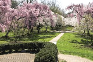 Brandywine Park cherry trees in full bloom in Wilmington, Delaware