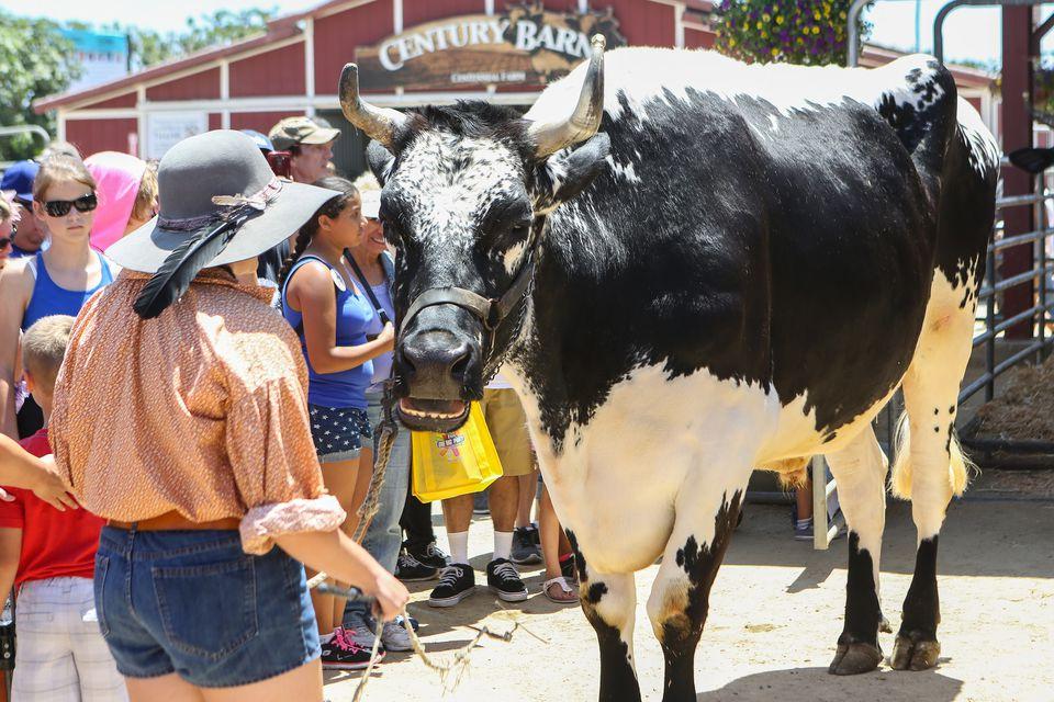An Ox at the OC Fair