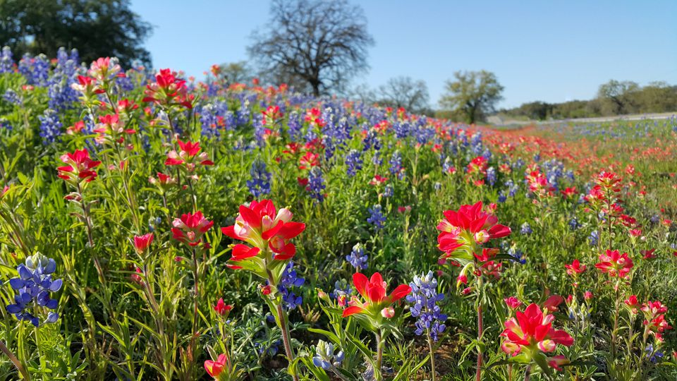 Bluebonnets, Indian Paintbrush, wildflowers color, Texas Hill Country