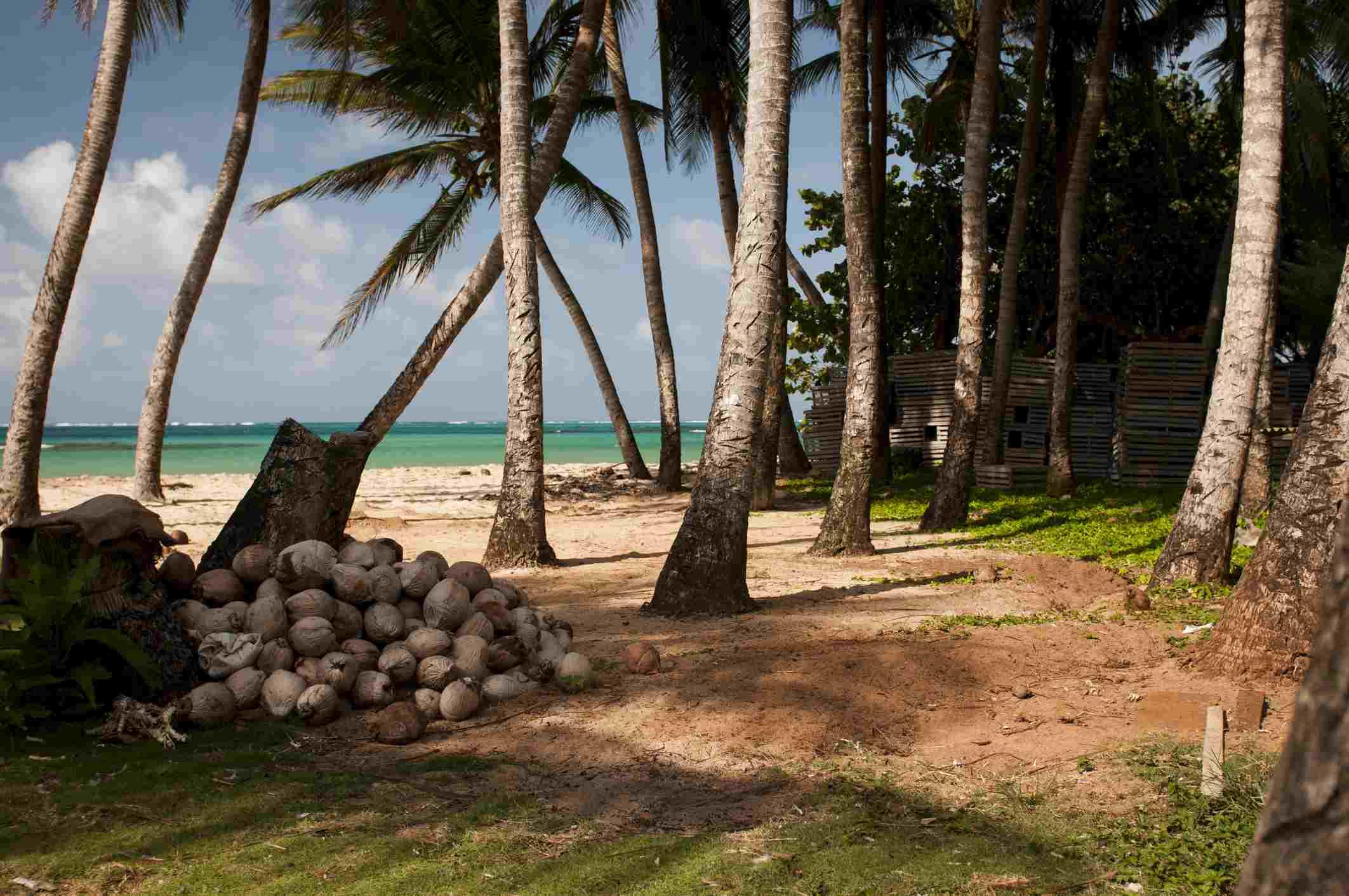 Pila de cocos y palmeras en la playa de Little Corn Island, Nicaragua