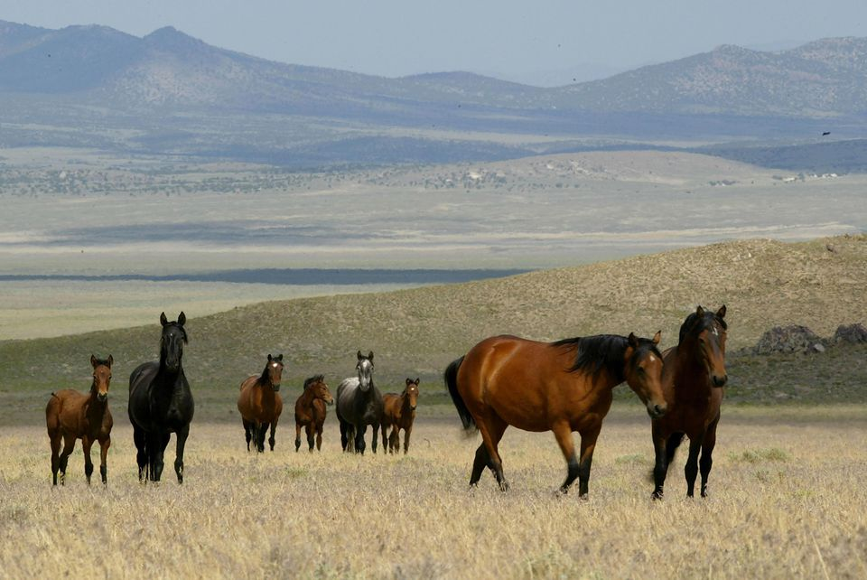 A group of wild horses walk through a field July 7, 2005 in Eureka, Nevada. The Bureau of Land Management is gathering wild horses in the American West, where an estimated 37,000 wild horses roam free. Many of the horses that are gathered are put up for adoption while others are treated with birth control and released back to the wild.