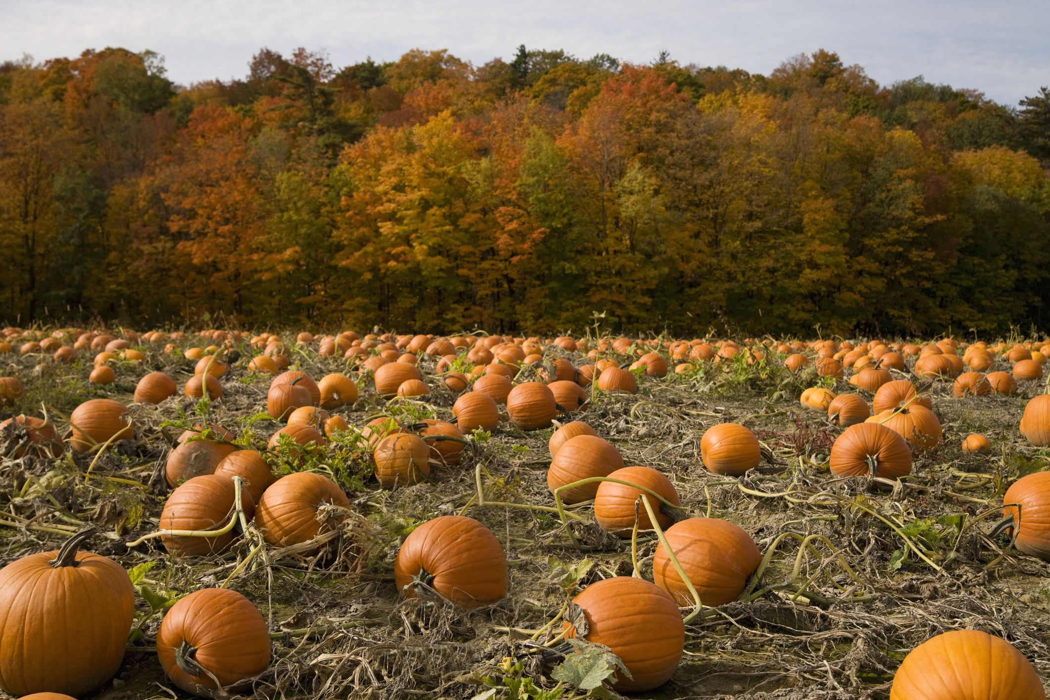 Pumpkin Patches In The St  Louis Area