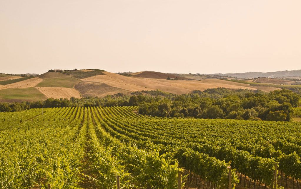 green vineyards in Tuscany