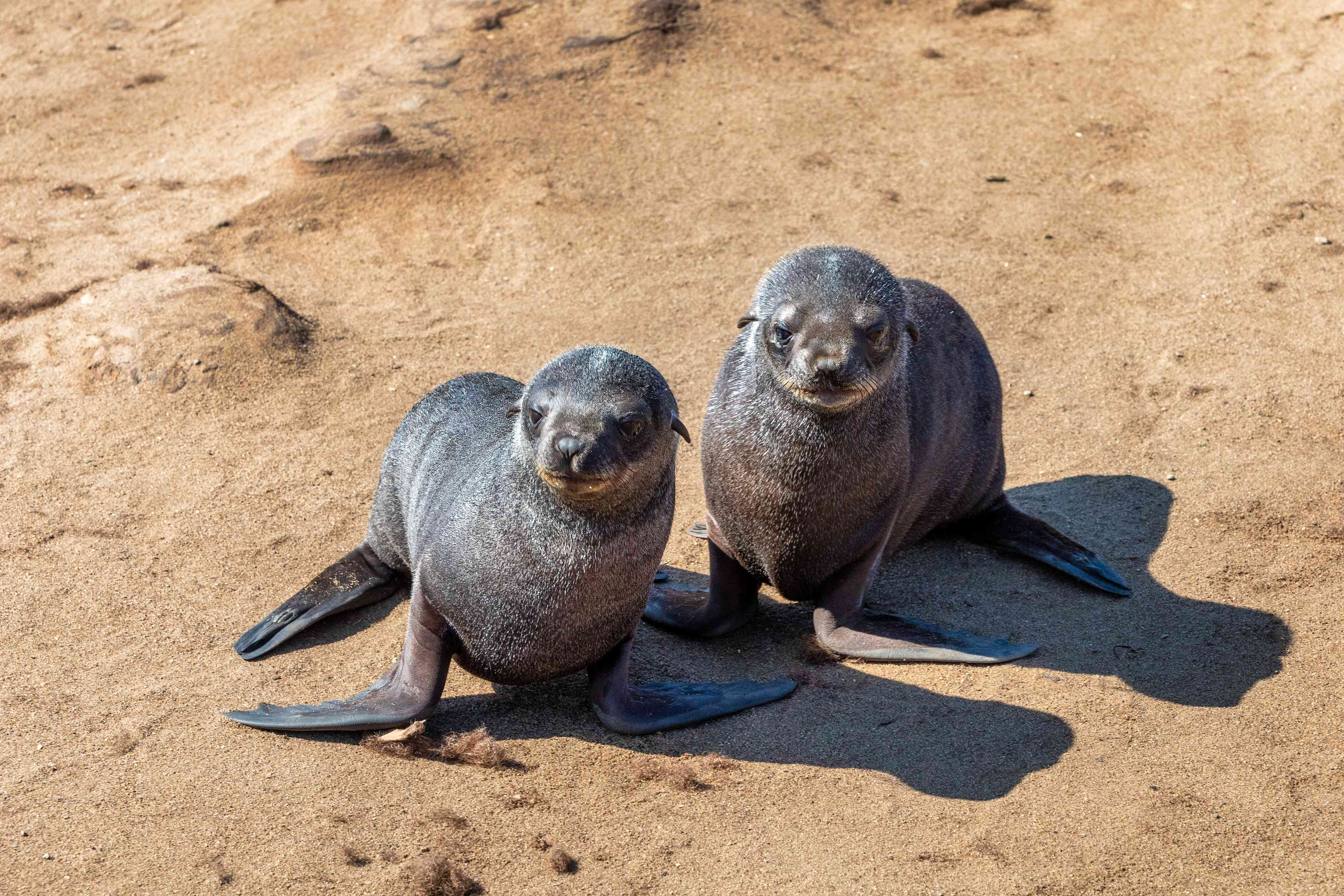 two brown seal pups in Cape Cross, Namibia