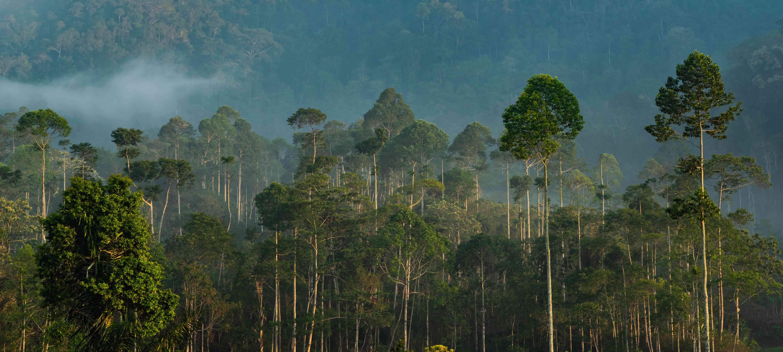 Tall trees in a Sumatran rainforest