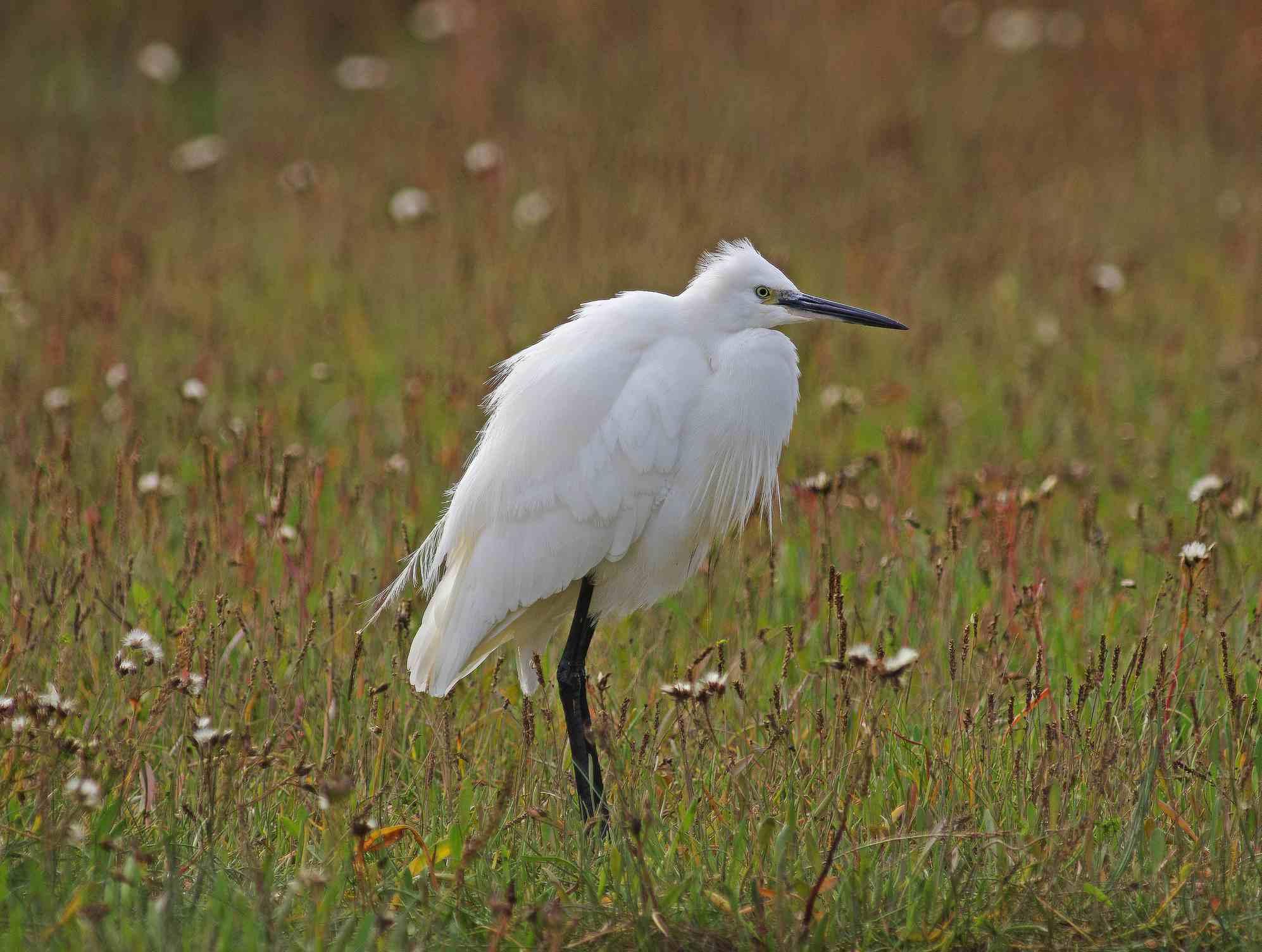 Little Egret [Egretta garzetta]