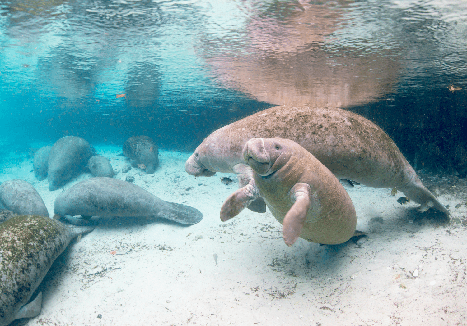 Manatees in Fort Myers Beach