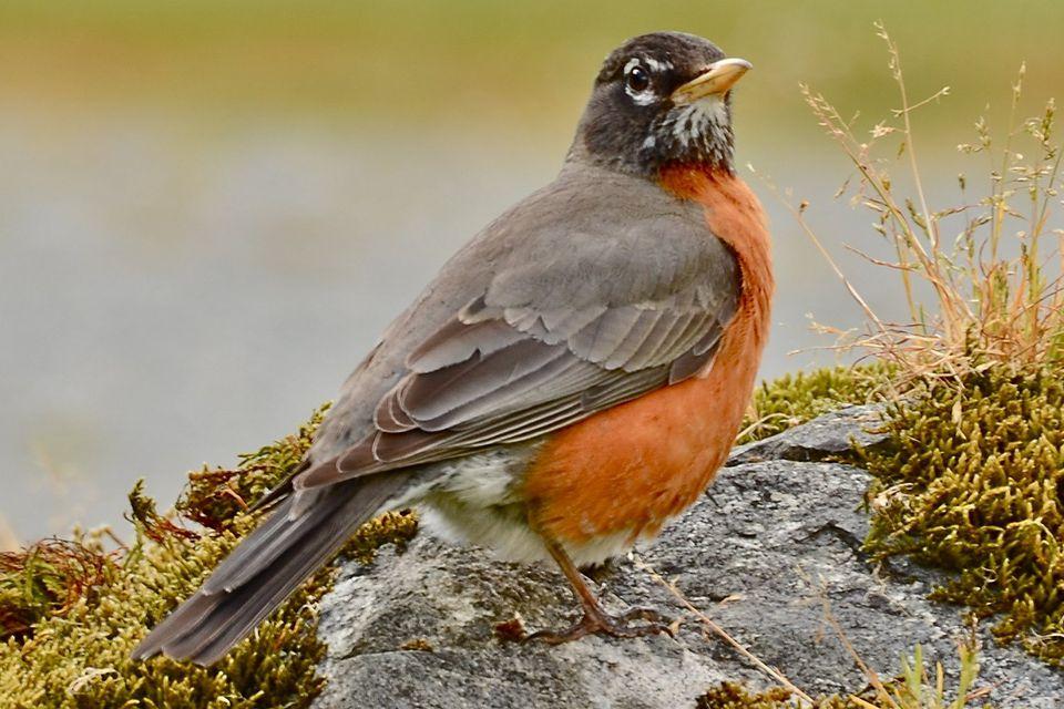 State Bird of Michigan—the American Robin