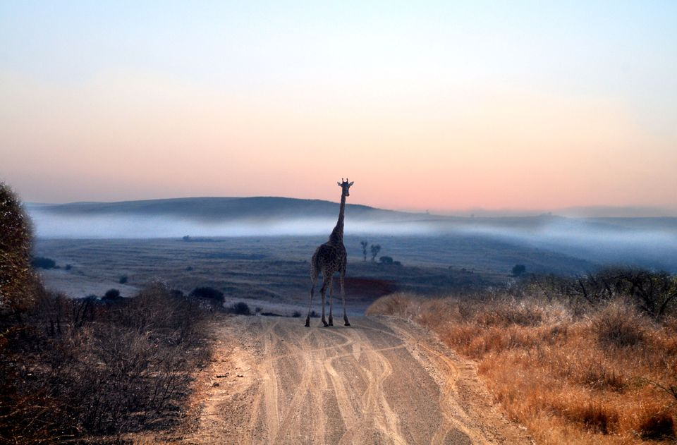 Giraffe on road in Kruger National Park in South Africa.