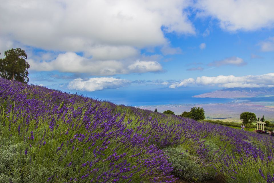 Alii Kula Lavender Farm on Maui