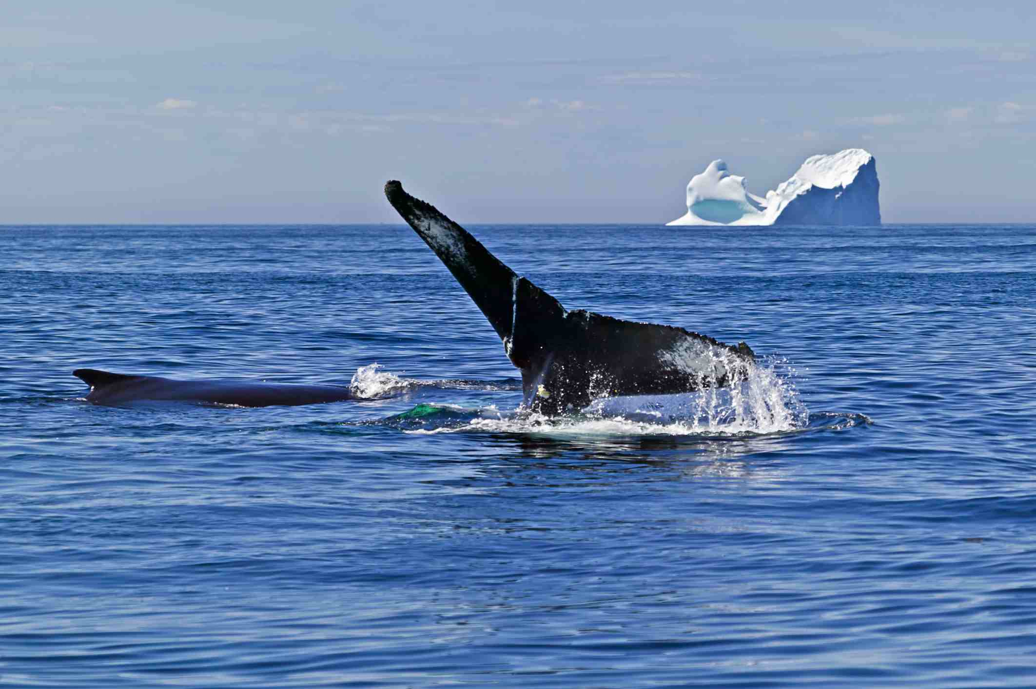 Surfacing humpback whale in Newfoundland