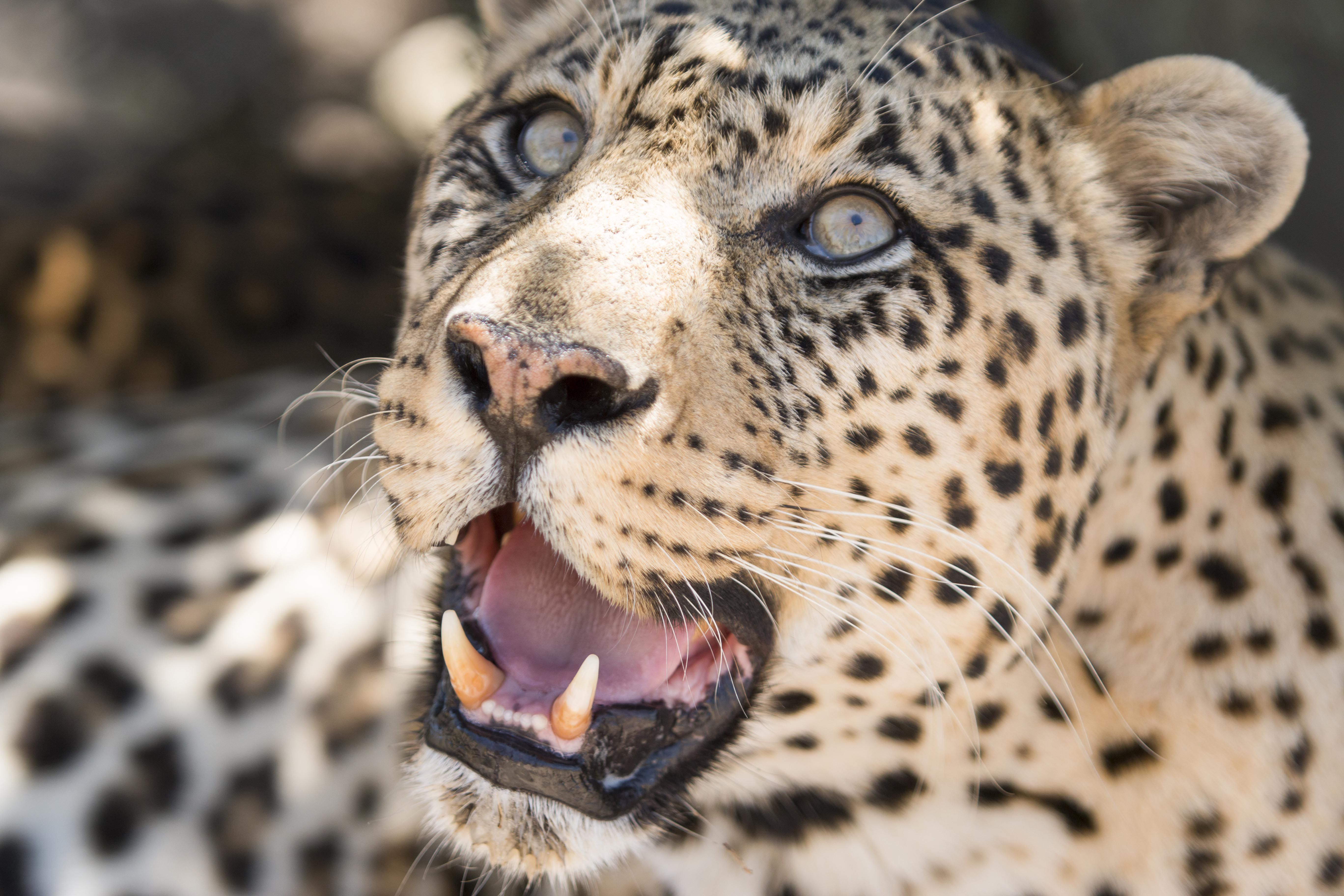 A close up of a leopard's face