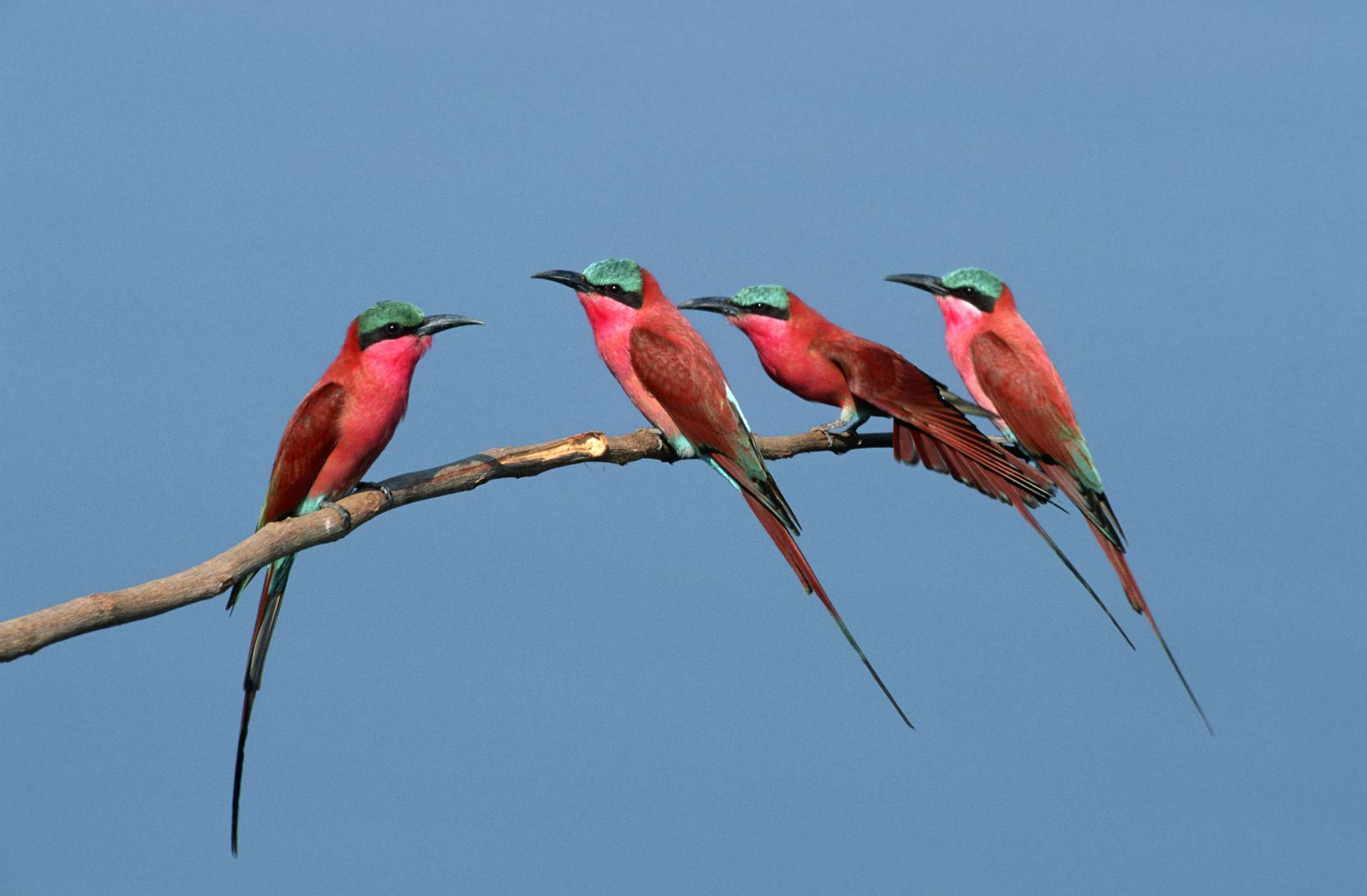 Carmine Bee-Eaters, Southern Africa Best Birding