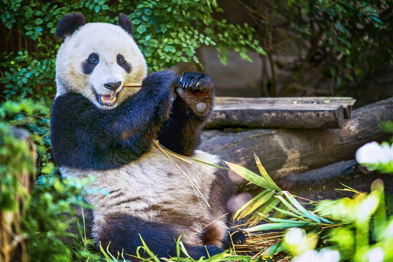 Young Panda at the San Diego Zoo