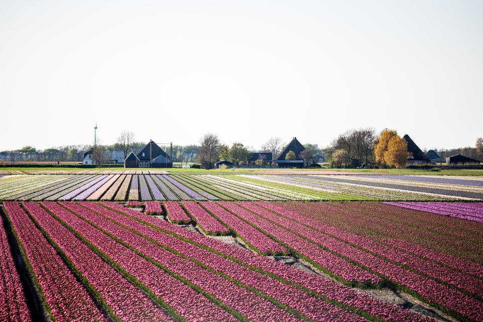 A tulip farm outside of Amsterdam