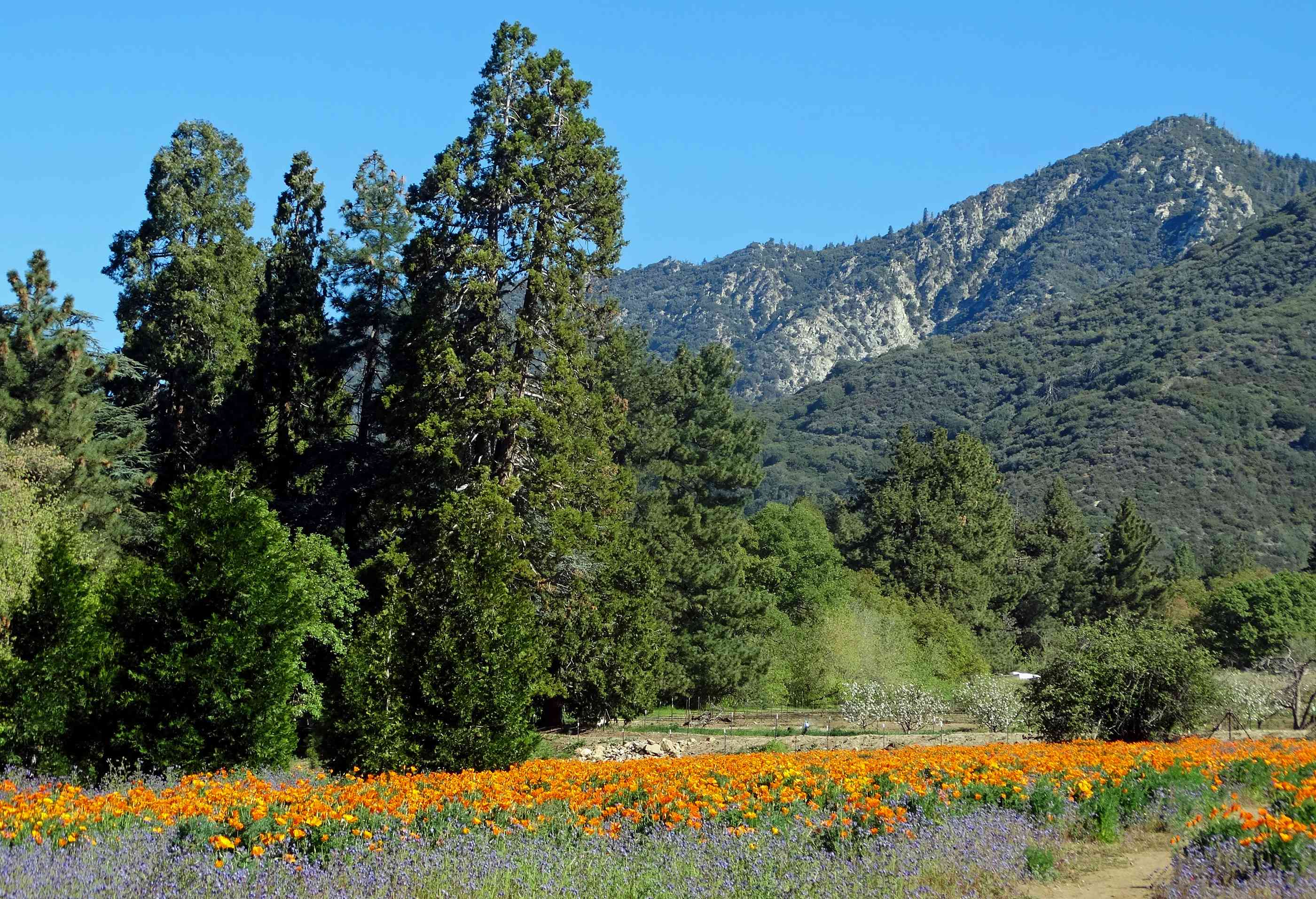 california wildflowers with trees and mountains in the background
