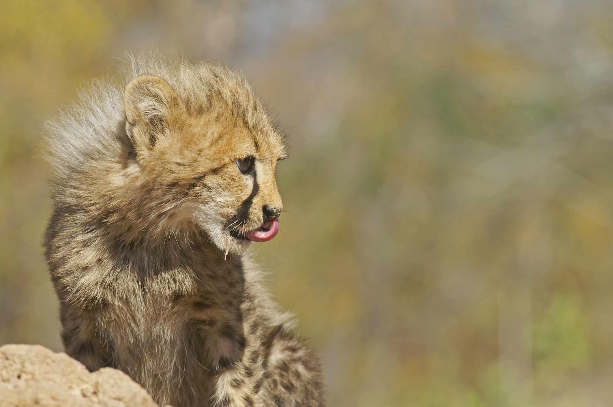 Cheetah cub at Hoedspruit Endangered Species Centre