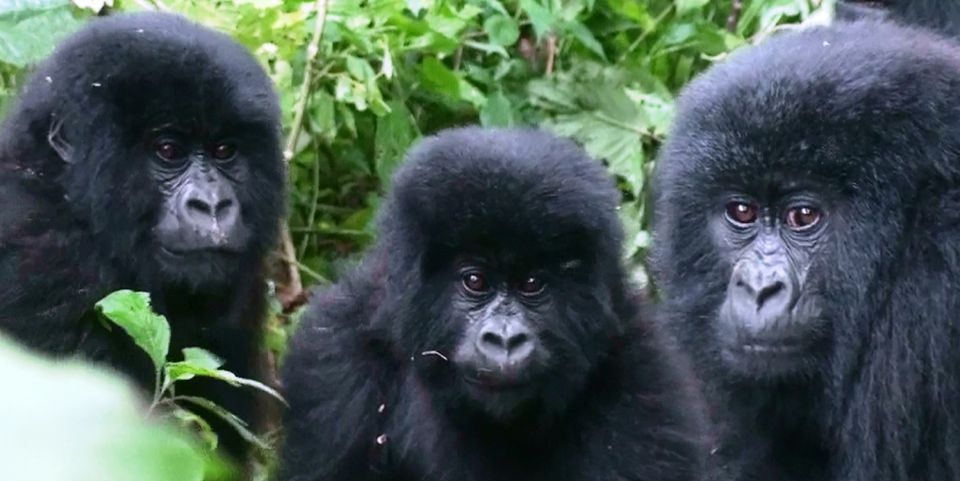 DRC Mountain Gorillas