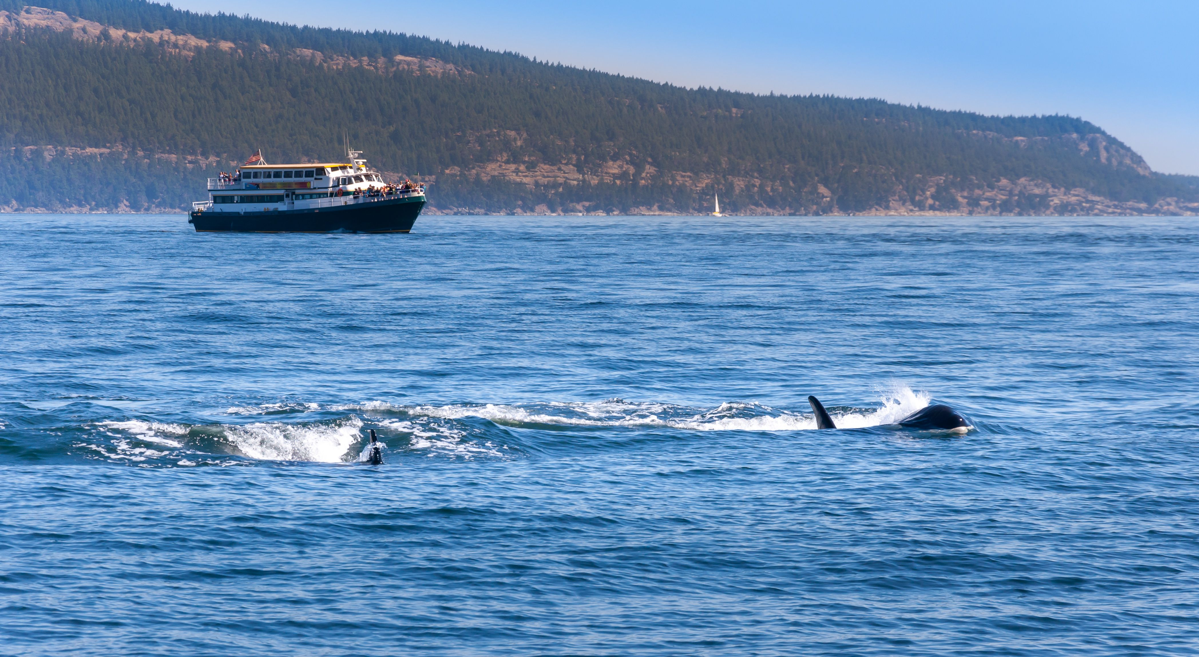 Two Orca whales near Vancouver Island, Canada. A whale watching boat is in the background.