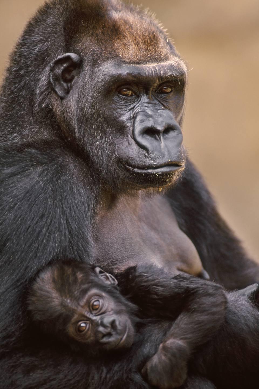 Gorila sosteniendo a sus crías