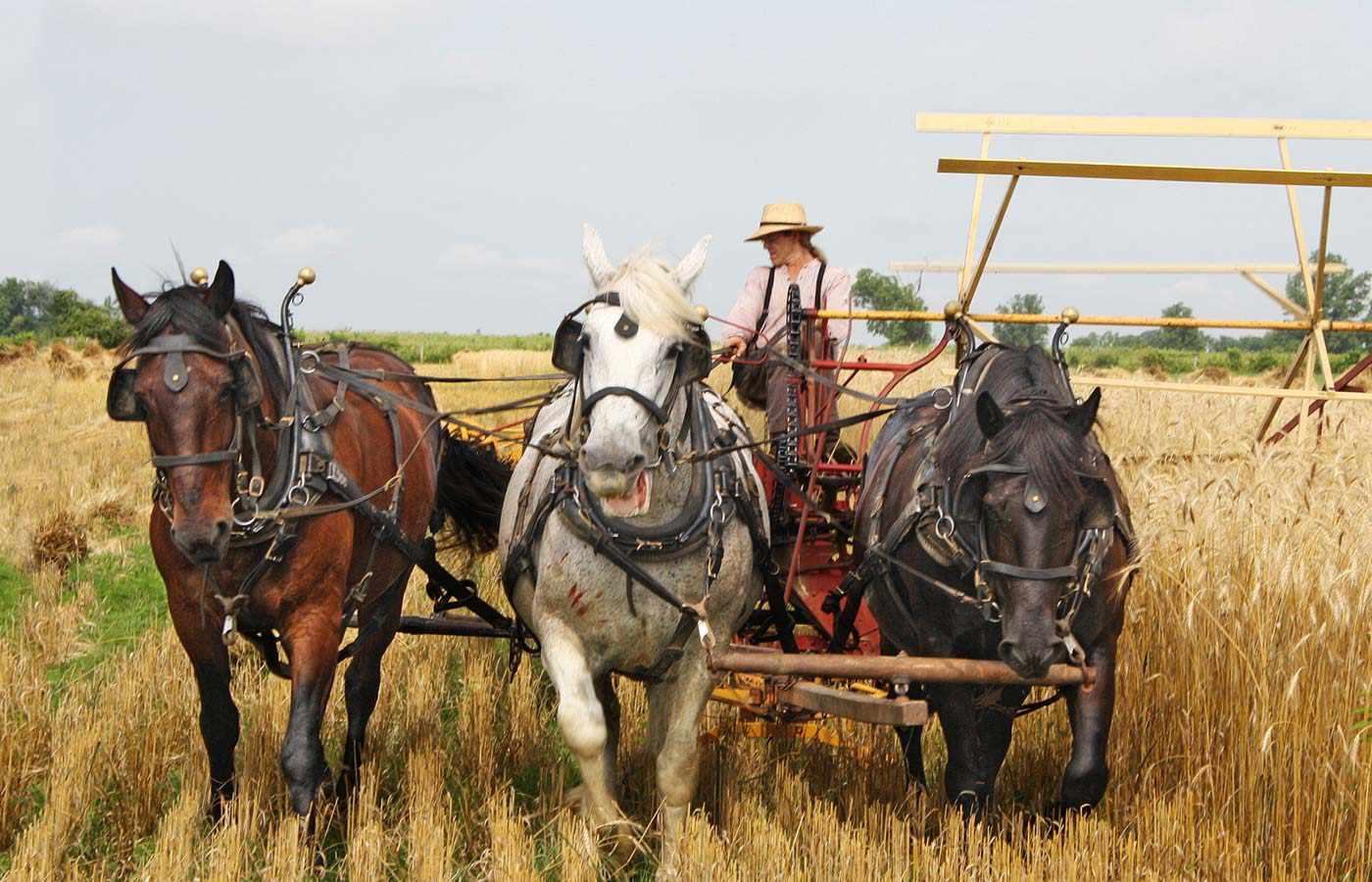 tres caballos tirando para la agricultura