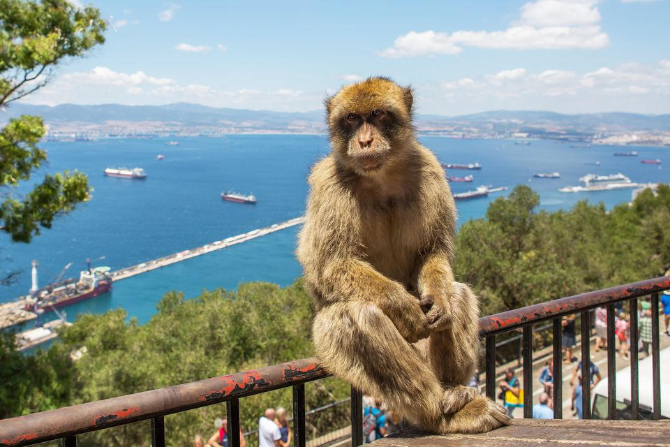 Barbary macaque Gibraltar