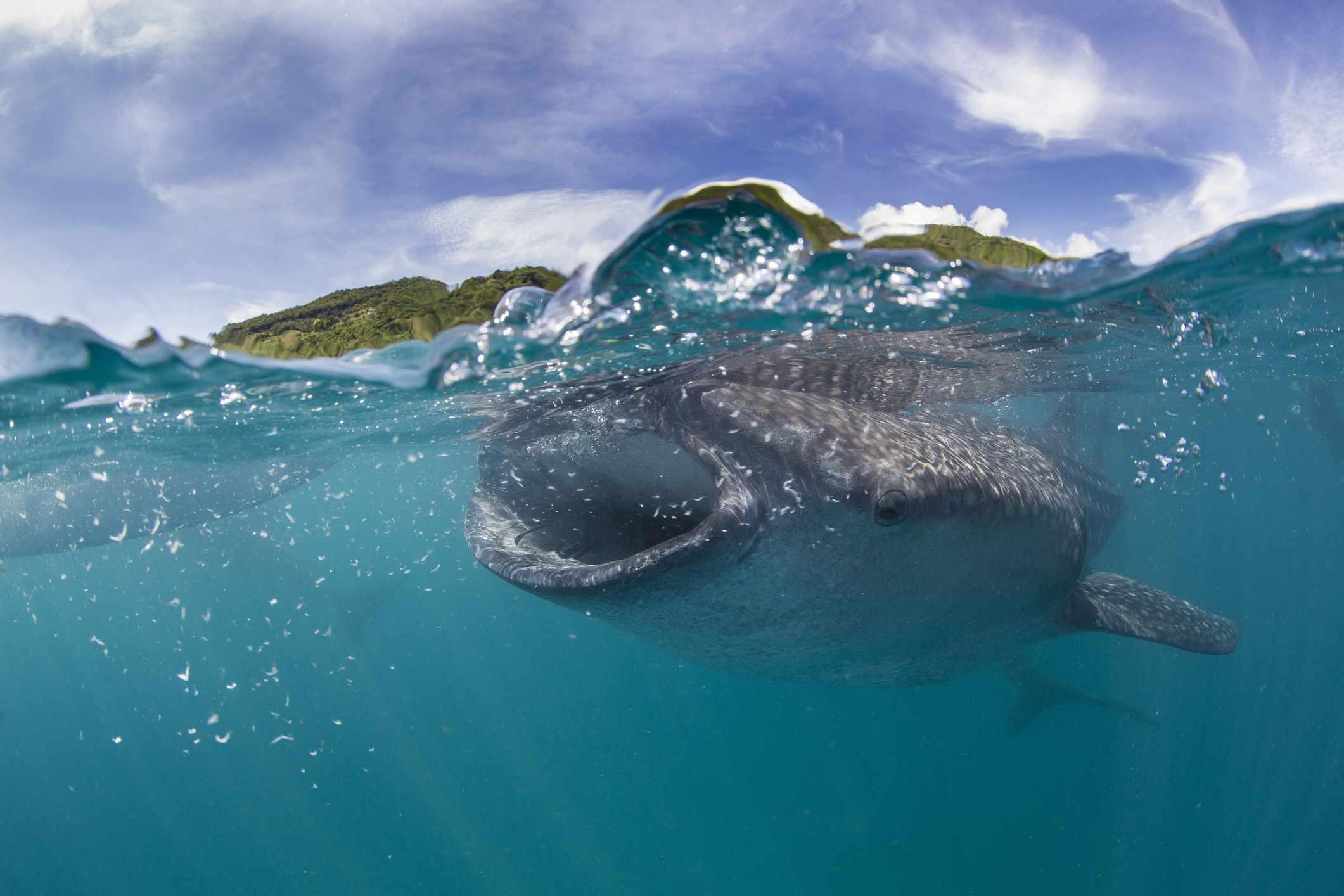 Filterfeeding Whale shark.