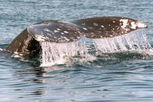 Glimpse of a Grey Whale Migrating