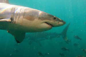 A shark swimming in murky waters