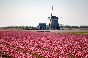 Tulips outside of Amsterdam in front of a wind mill