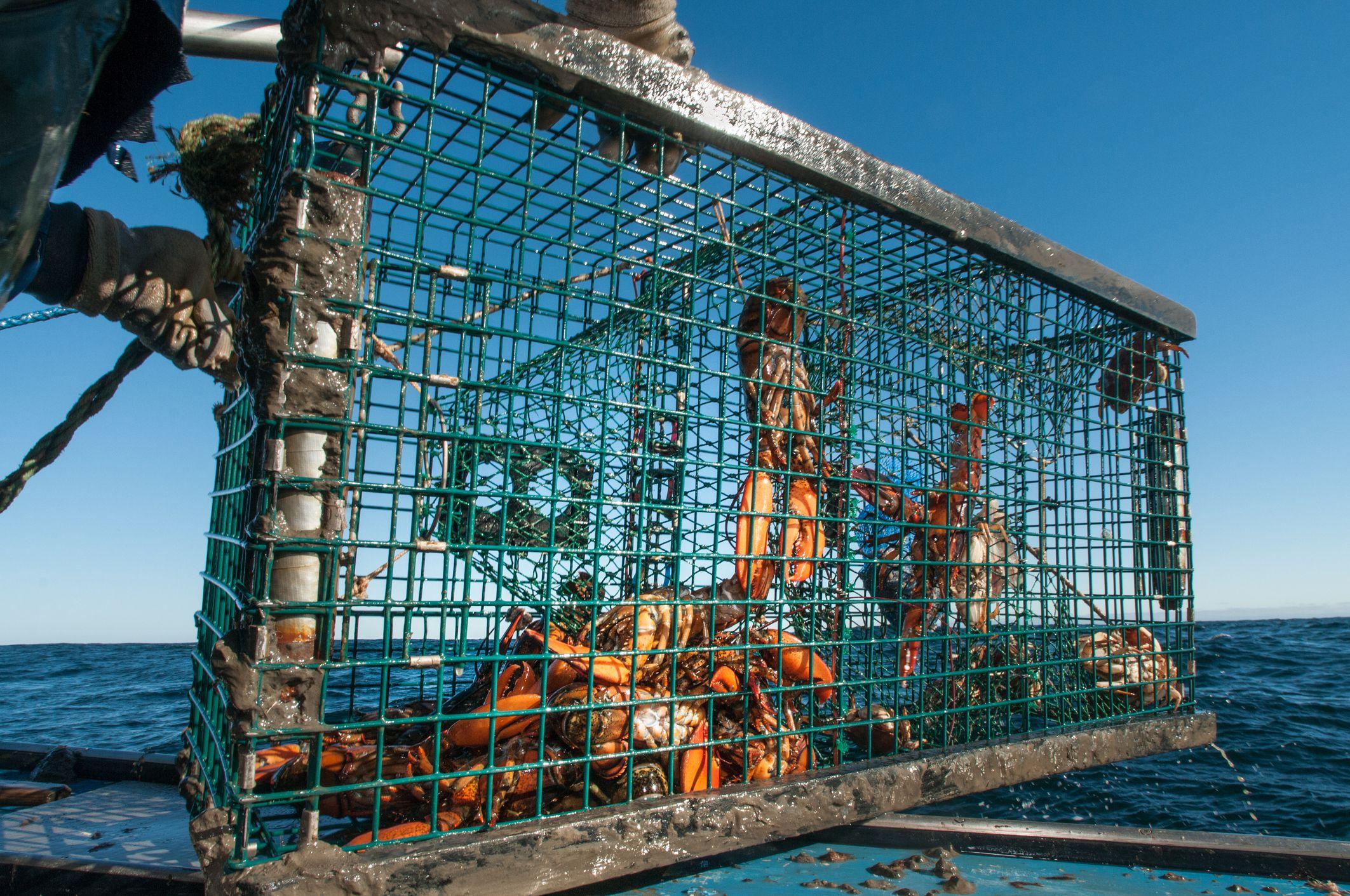 Sustainable Lobster Harvesting