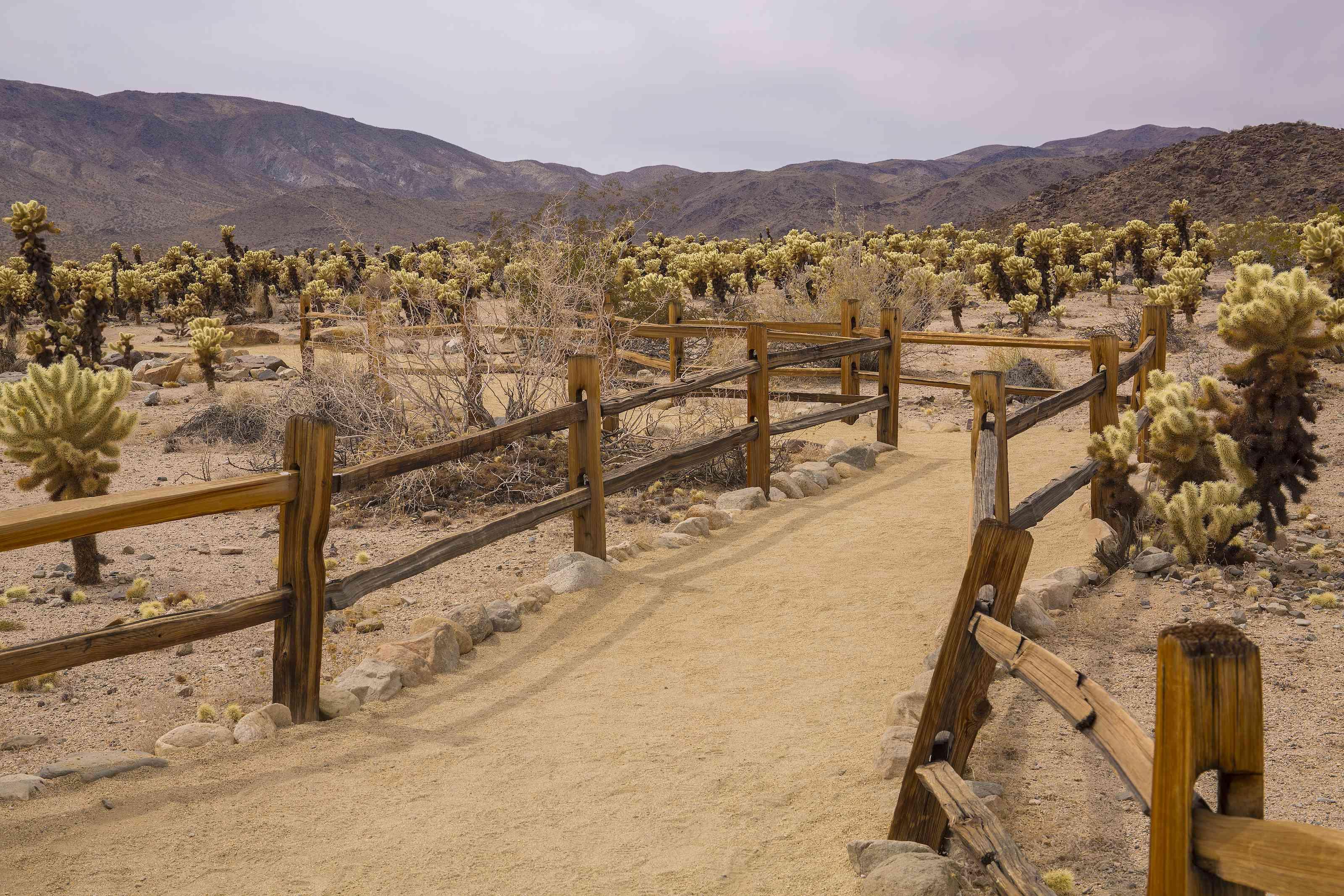 Cholla Cactus Garden Trail in JTNP