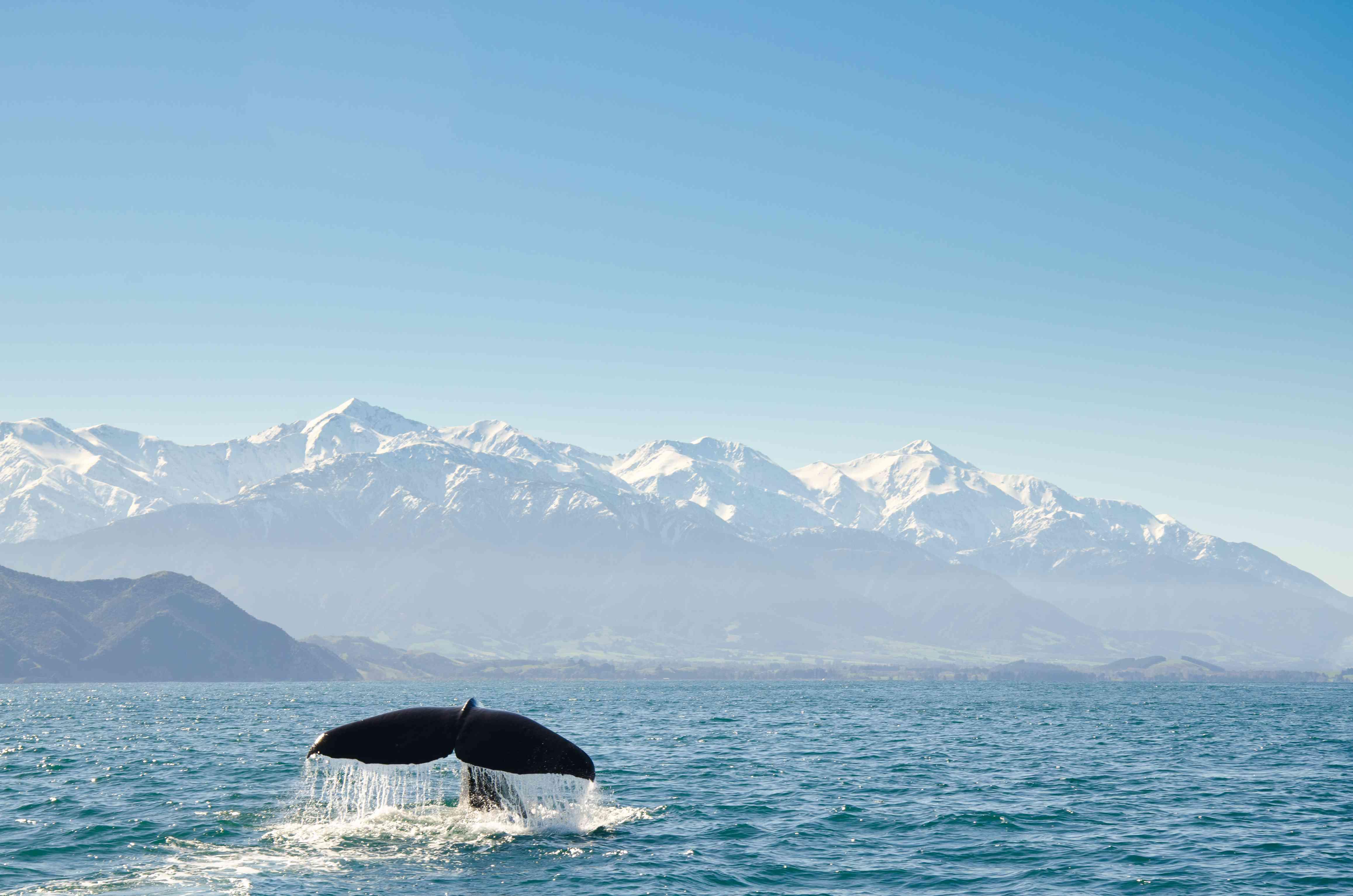 Nueva Zelanda, Canterbury, Kaikoura, Vista de la aleta caudal de las ballenas