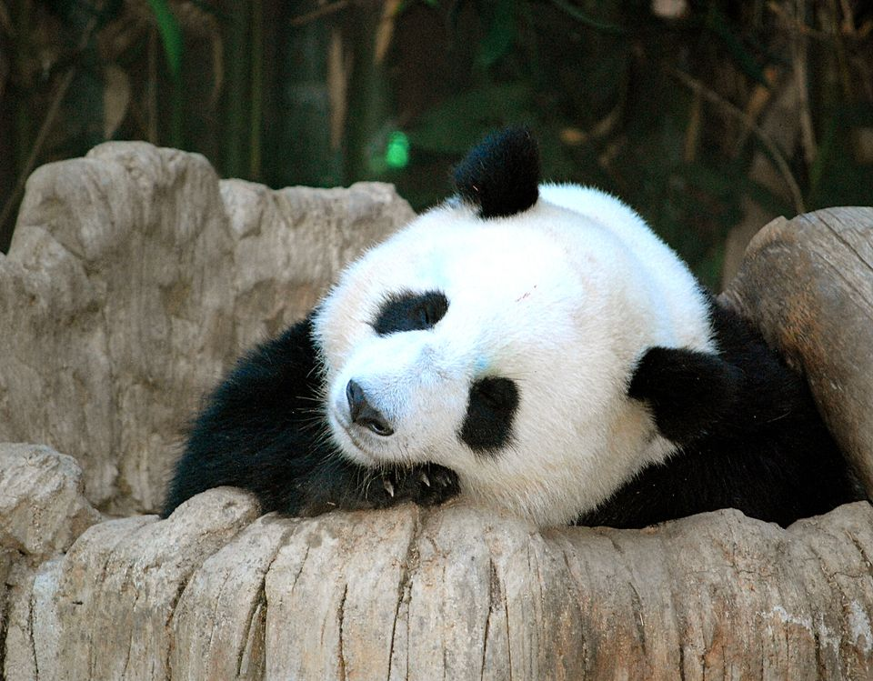 Panda Resting On Rocks In San Diego Zoo
