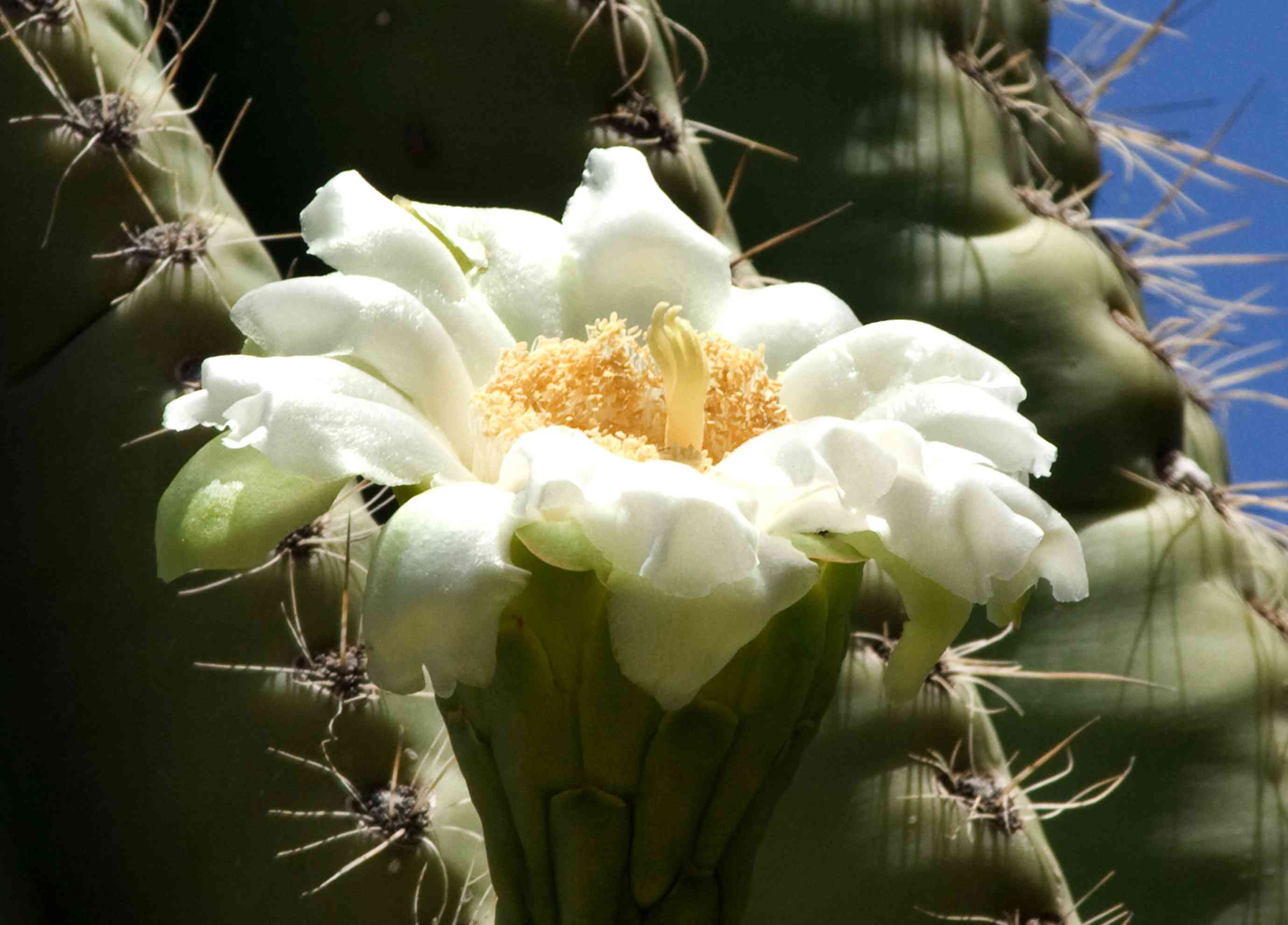 16 things to know about the saguaro cactus izmirmasajfo
