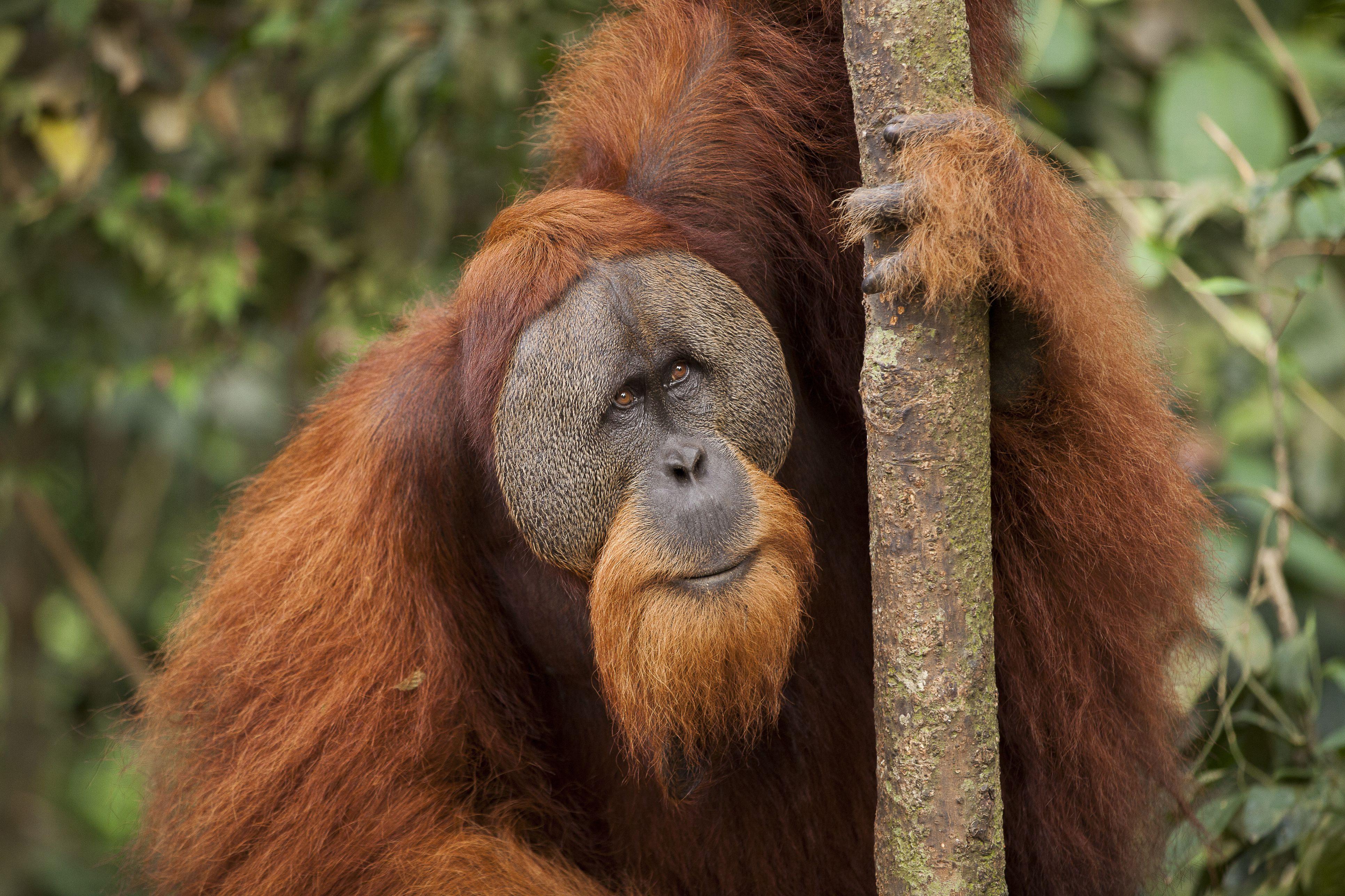 'Sumatran Orangutan (Pongo abelii) male in tree, Gunung Leuser National Park, Sumatra, Indonesia'