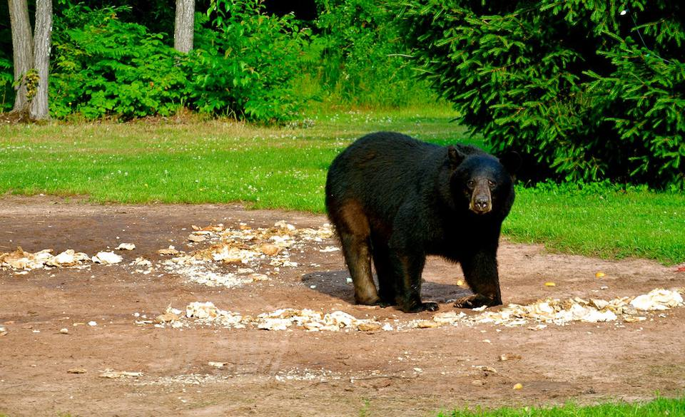 black bear in Michigan