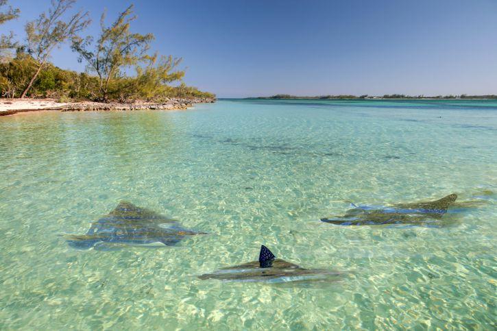 Rays off of an Eleuthera beach, Bahamas