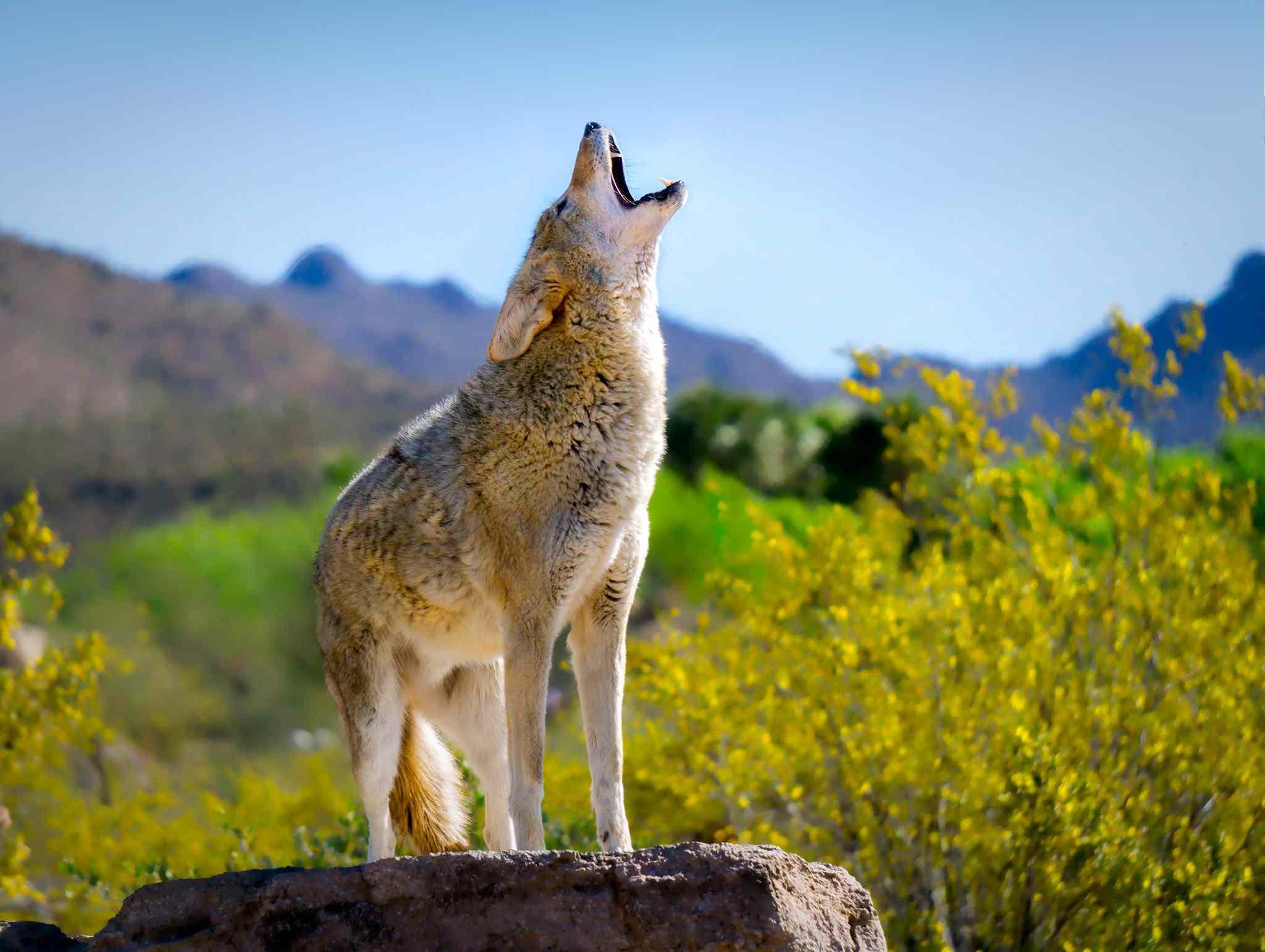 Un lobo aullando