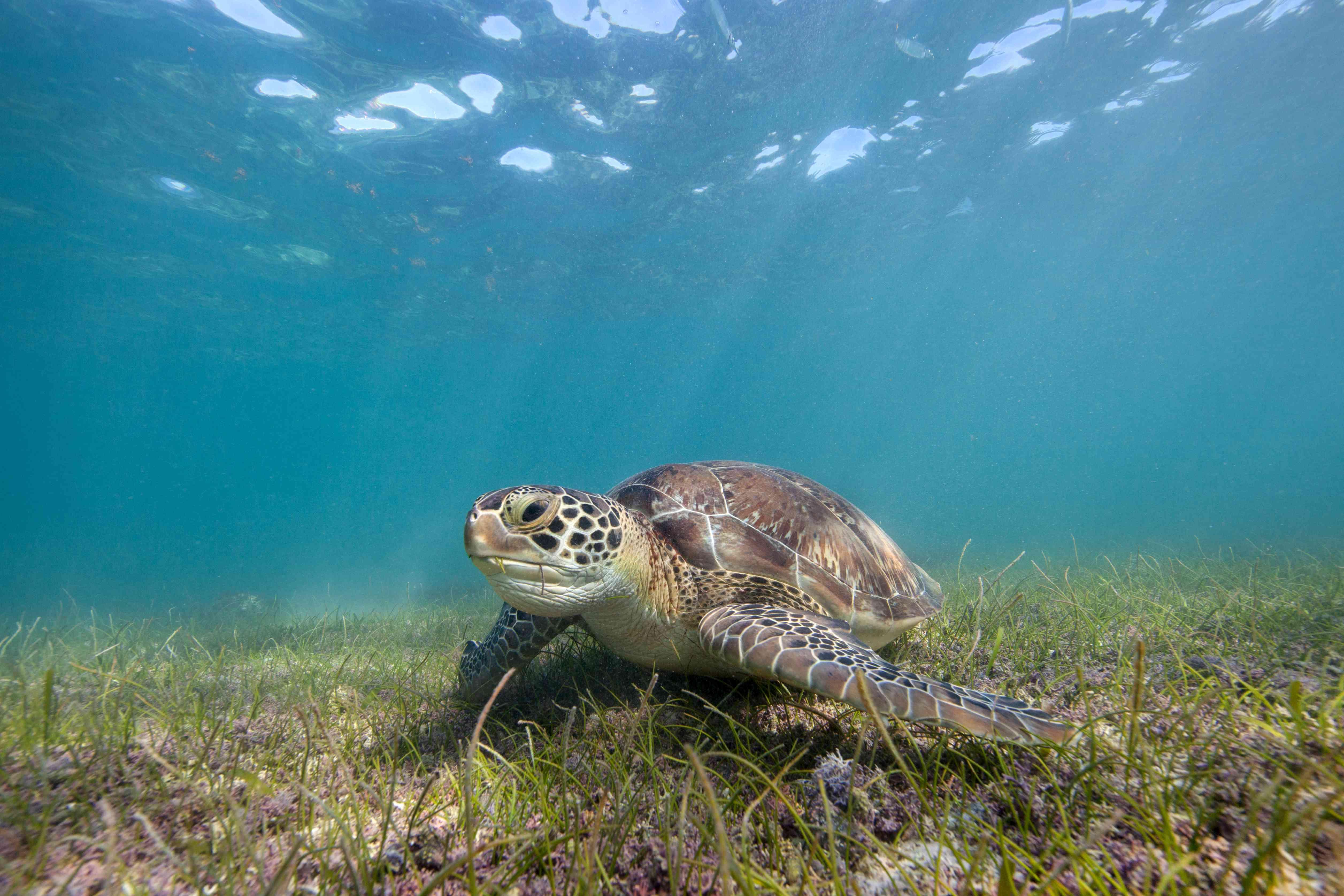 Green Sea Turtle feeding on sea grass
