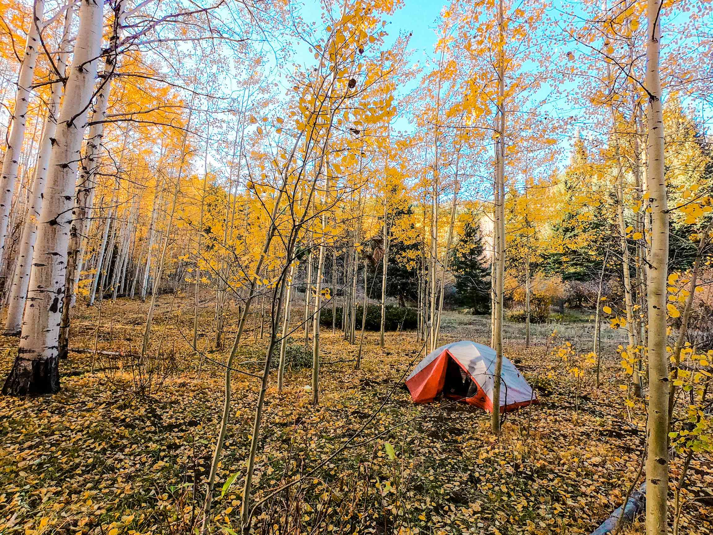 A backpacking tent under an aspen grove in Colorado