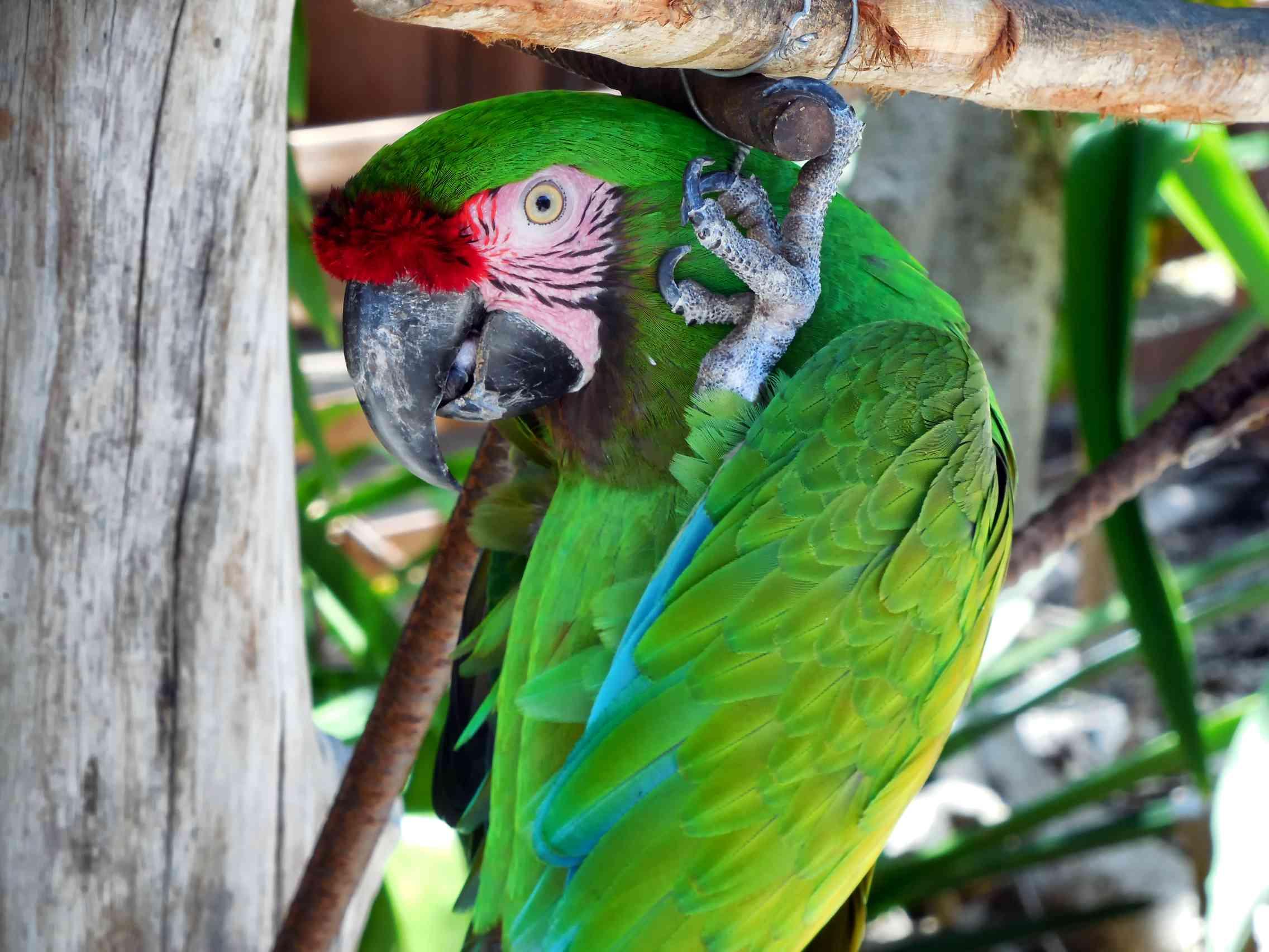 Green Parrot at Ardastra Gardens, Nassau Bahamas