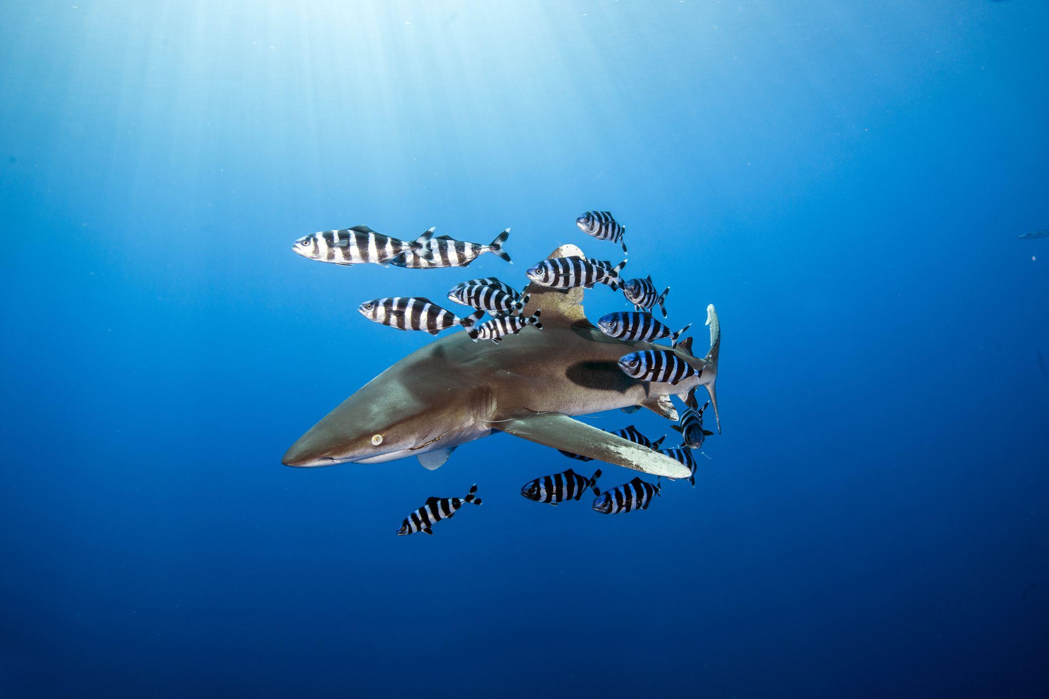 Oceanic Whitetip Shark, Egypt