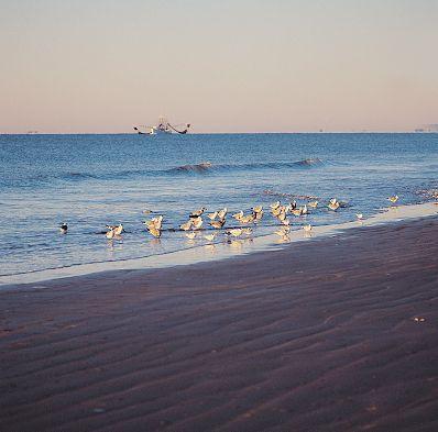 Shorebirds on the Beach at Hilton Head Island
