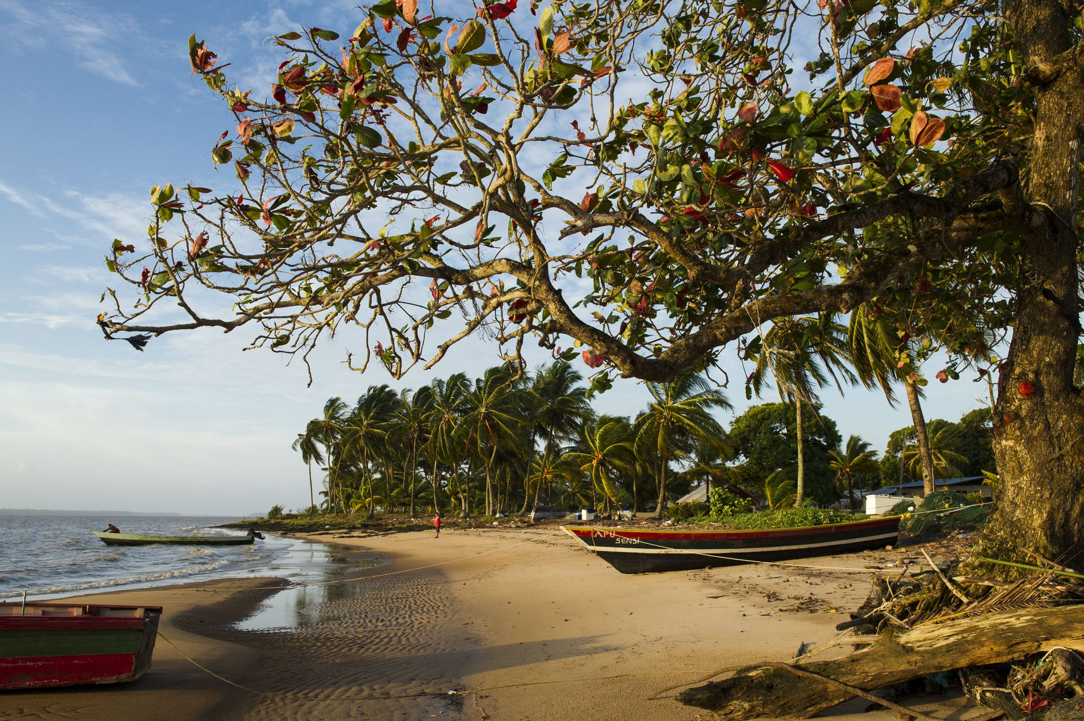 Boats next to a tree on the beach in Galibi, Suriname